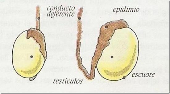 testiculos