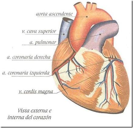 capas del corazon
