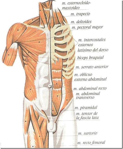 musculos del tronco