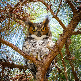 The stare  by Liza Chevres - Animals Birds ( great horned owl,  )