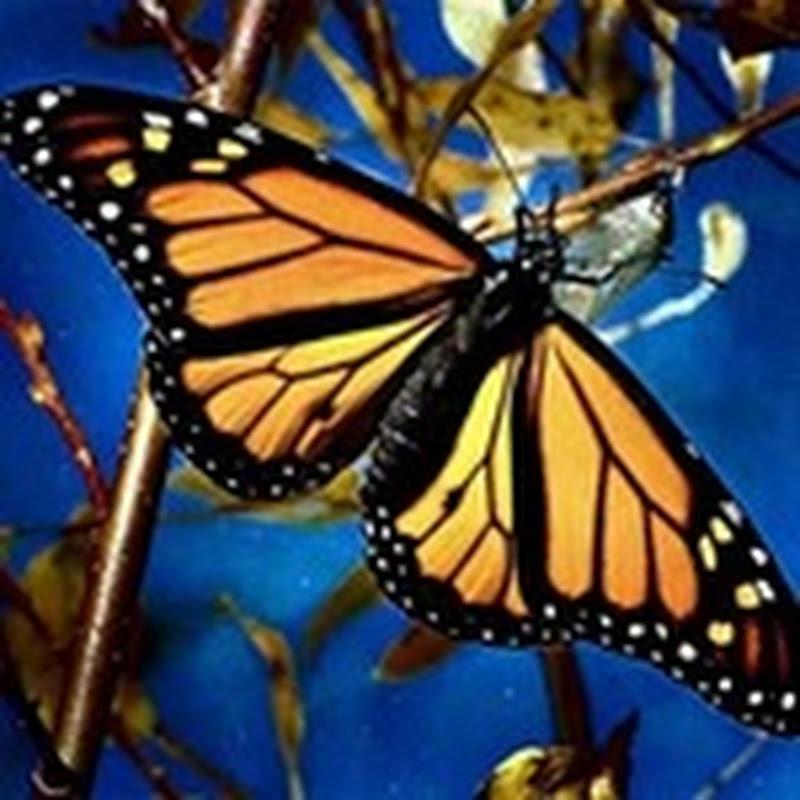 Proyecto Salvemos las Mariposas Monarcas
