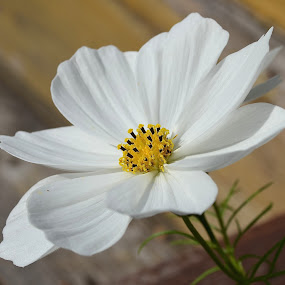 Journey To The Center Of A Flower by Ed Hanson - Flowers Single Flower ( center, macro, cosmo, white, yellow )