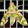 Oleander Hawk Moth (Female)