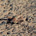 Plains Lubber Grasshopper
