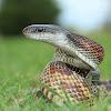 Texas Rat Snake