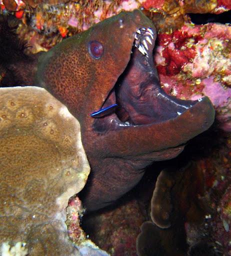 [Image: ikan-buas-Moray-Eel-09.jpg]