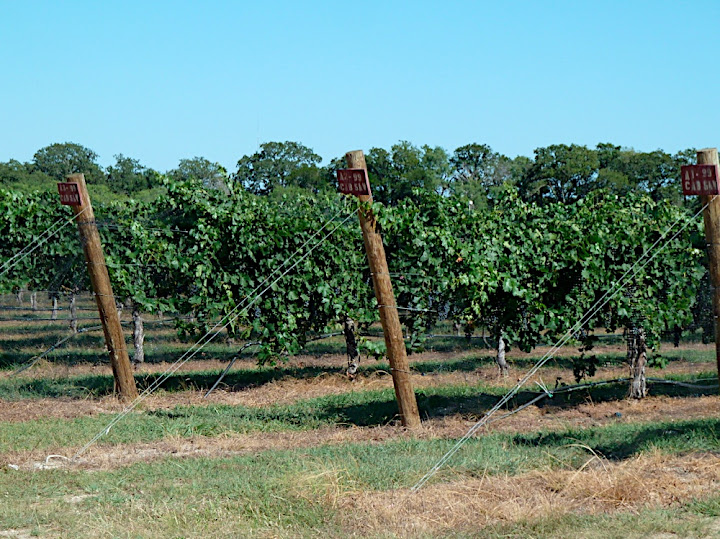 Vines in Texas