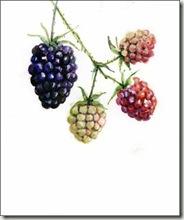blk berries sm