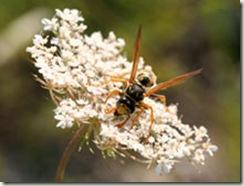 wasp-feeding