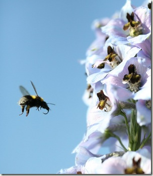 bee delphiniums