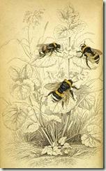 the common humble bee Jardine