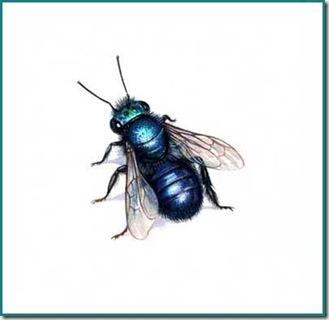 osmia lignaria blue orchard mason bee
