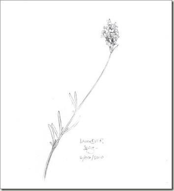 lavender 2 sm