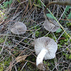 Tricholoma grey-capped mushroom