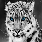 About Snow Leopards And More