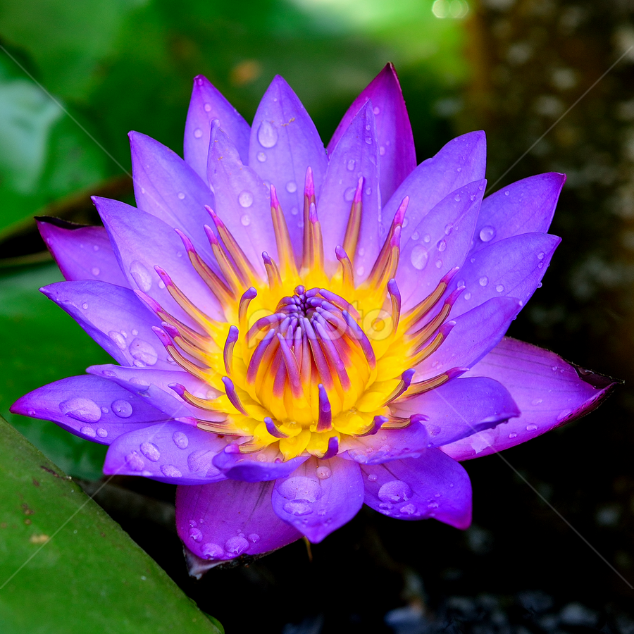 Water Lily by Maniraj M - Flowers Single Flower ( colourful, nature, petals, water lily, flower,  )