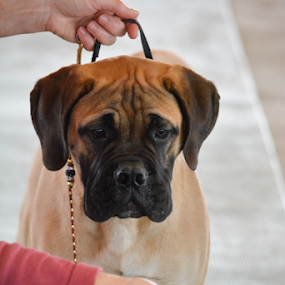 Rocco by Angeline JoVan - Novices Only Pets ( bull mastiff, puppy, dog show,  )
