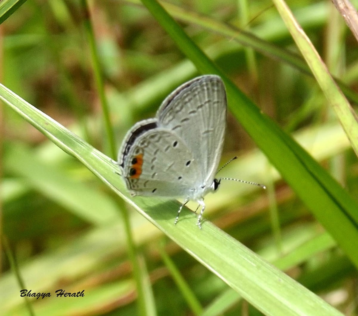 Indian cupid butterfly