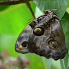 Mariposa de bosque  Tamarind Owl