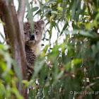 Soggy koala
