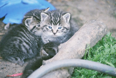 kittens, the spring feral tabby kitten collection