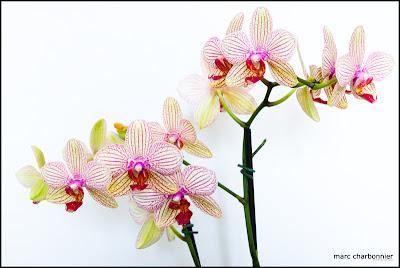 orchidées-mars-5.jpg