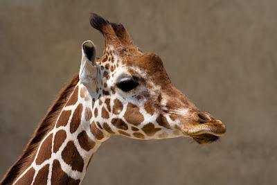 girafe sigean.jpg