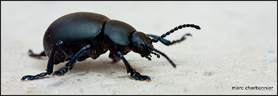 scarabées-3.jpg