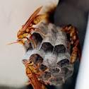 Neotropical social wasp