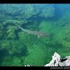 Whitetip Reef Shark / Tiburón Coralero Ñato