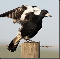 magpie fence