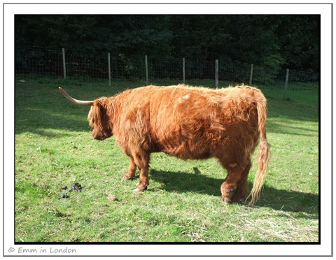 Highland Cattle - Crieff