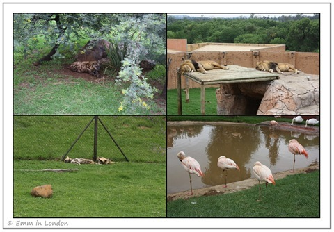 Hyaenas Lions Wild Dogs and Chilean Flamingos at Emerald Resort Animal World