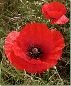 红色罂粟花