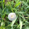pleated inkcap, Japanese parasol