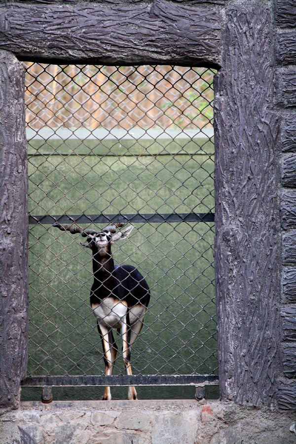 Black Buck in Cage
