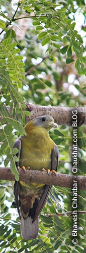 Yellow Footed Green Pigeon [Treron Phoenicoptera] Yellow Legged Green Pigeon