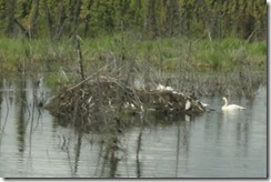 09 Swans and beaver lodge