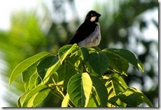 bigodinho (Sporophila lineola). Foto: Tietta Pivatto