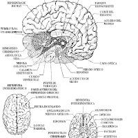 Fichas Del Cerebro Para Imprimir