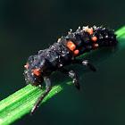 Ladybug larve