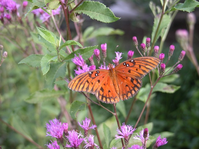 Gulf Fritillary on Ironweed, by Kristen Gilpin