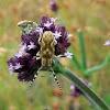 Cerambycidae Longicorn Beetle