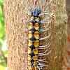 Caterpillar. Oruga. Lagarta