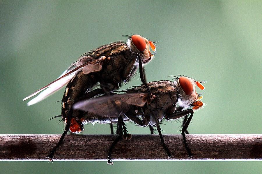 Loving by Taufiq Muwardi - Animals Insects & Spiders ( #macro #flies #nature )