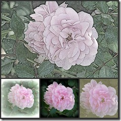 rosecollage
