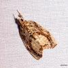 Crambidae, Evergestinae,