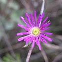 lampranthus immelmaniae