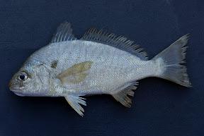 Spot Fish