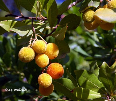 Arbutus unedo L. ALC  23 Sep 05 005 copia